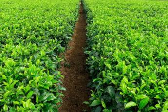 Coffee field in Malawi