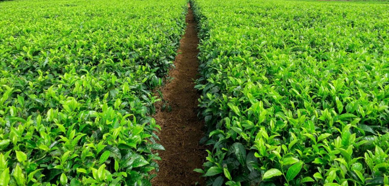 Path through a field of coffee plants