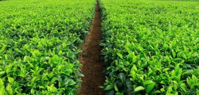 Path through a field of coffee plants